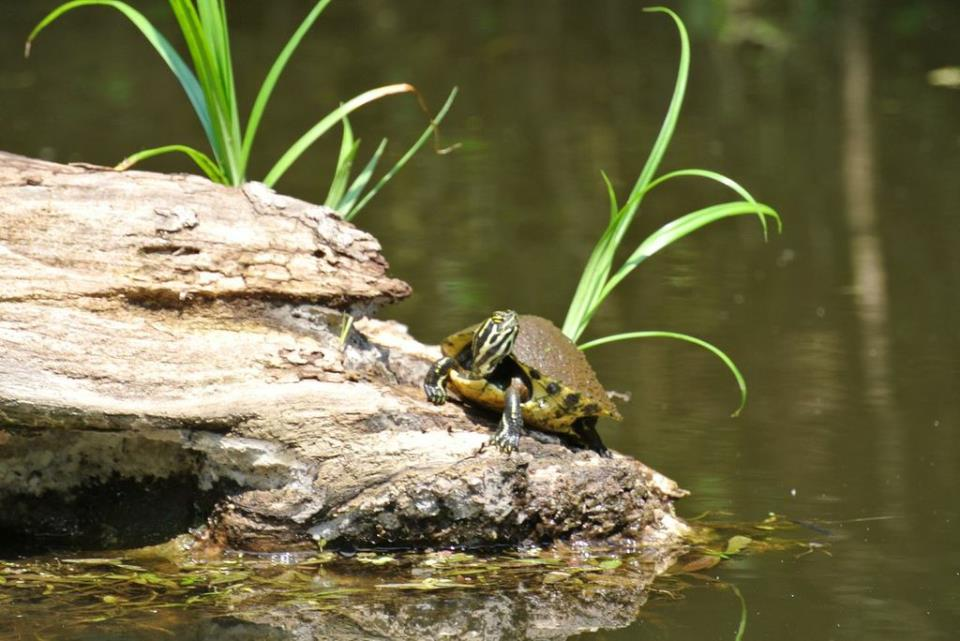 Turkey Creek Turtle